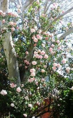 Roses dans l eucalyptus 4